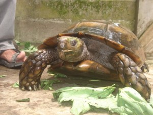 asian forest tortoises