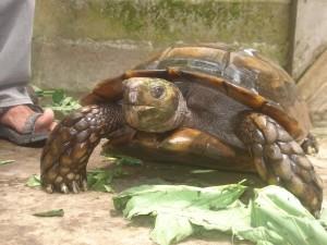 asian forest tortoises
