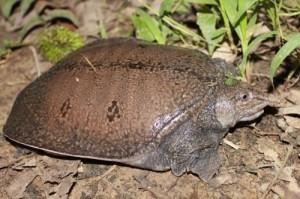 Asian soft-shell turtle (Dogania subplana) (photo: satucita foundation)