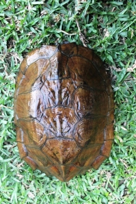 carapace of C. oldhami (photo: satucita foundation)