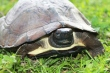 Asian leaf turtle (photo: satucita foundation)