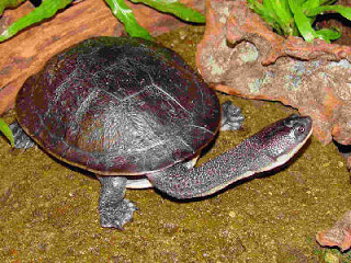 Chelodina mccordi (photo:http://alioting.blogspot.com)
