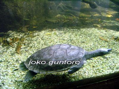 How to care turtles Satucita Foundation - freshwater turtles ...