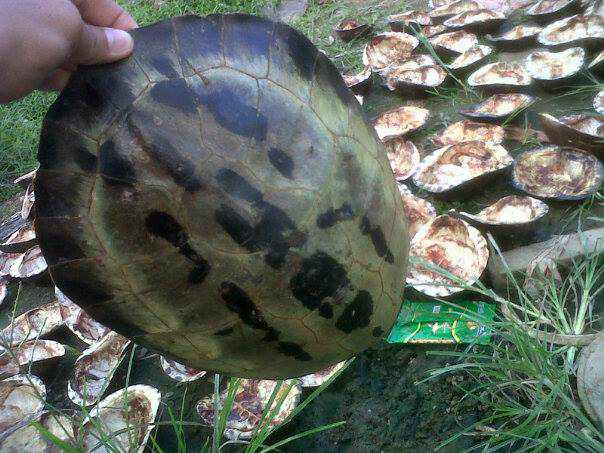 freshwater turtle carapace, included Painted Terrapin, for sell