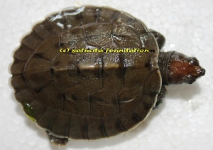 carapace of hatchling
