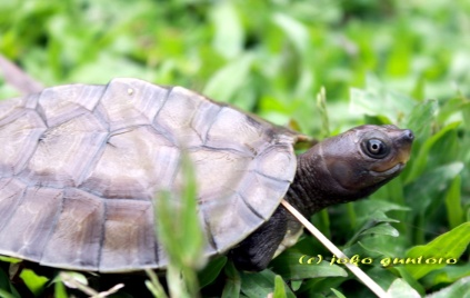 Two months old of Painted Terrapin hatchling