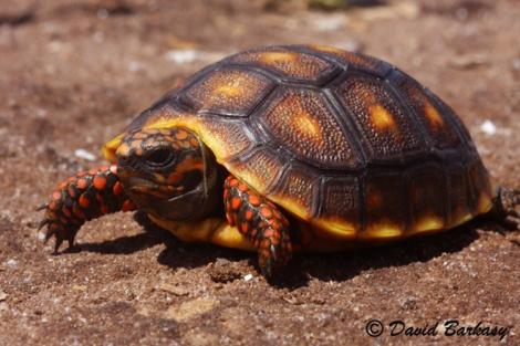 Cherry Head Red-Foot Tortoise, baby 660