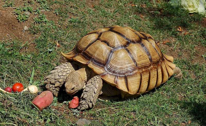 tortoise-Geochelone_sulcata_-Oakland_Zoo_-feeding-8a