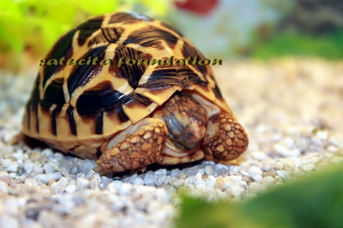 indian star tortoise in pet shop