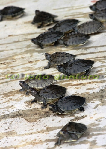 turtle_painted terrapin_hatchling_basking