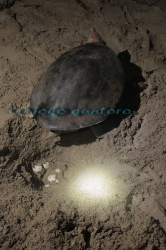 Female of Painted terrapin is laying eggs