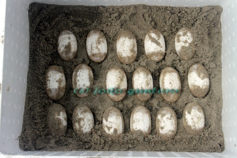 Painted terrapin eggs have secured and moved into incubation box