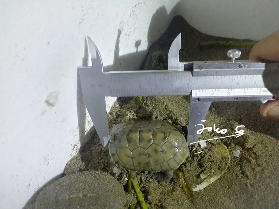 first hatchling of nesting season year 2013