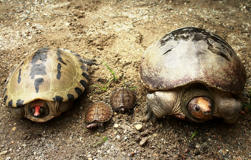 Painted terrapin (Batagur borneoensis), male (left), hatchlings, female (right)