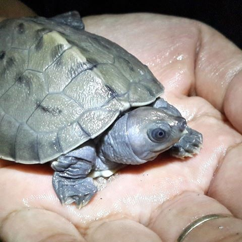 Hatchling of Painted terrapin that hatched on 15 March.