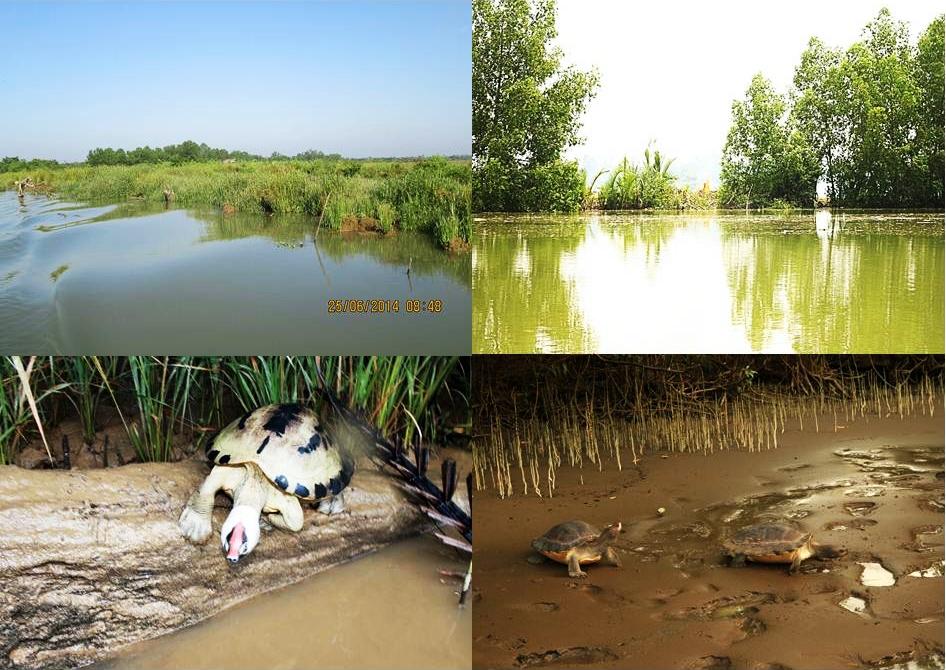 the destruction of riparian vegetations cause Painted terrapin losing it's habitat (food source, log to basking).