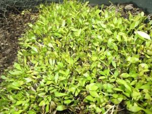 seedling of Berembang (Sonneratia sp.)
