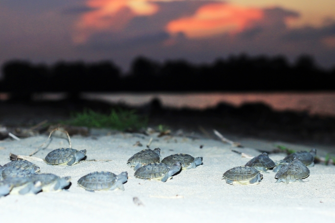 hatchlings of painted terrapin