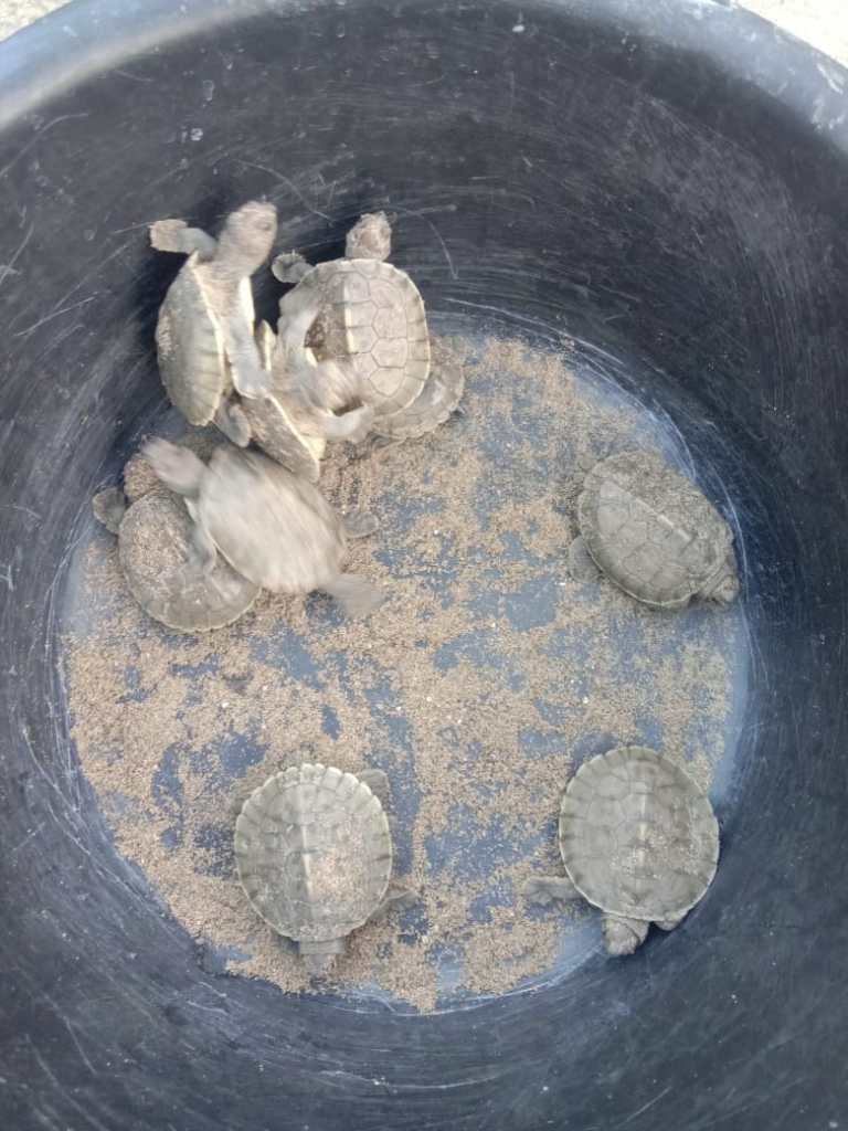 Hatchling of Painted terrapin in Aceh. (Photo: YSLI)